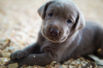 Labrador Retriever Puppy For Sale in MONROE, GA,