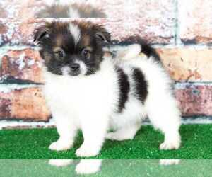 Shiranian Puppy for sale in BEL AIR, MD, USA