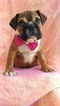 English Bulldog Puppy For Sale in EDEN, PA, USA