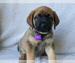 Puppy 12 Mastador-Mastiff Mix