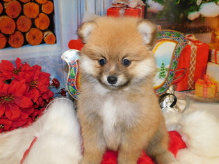 View Ad Pomeranian Puppy For Sale Indiana Hammond Usa