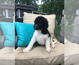 Labradoodle Puppy for sale in REIDSVILLE, NC, USA