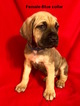 Cane Corso Puppy For Sale in SMITHVILLE, MS, USA