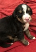 Bernese Mountain Dog Puppy For Sale in BAMBERG, SC, USA