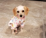 Small #4 Cavalier King Charles Spaniel-Poodle (Standard) Mix
