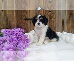 Puppy 1 Cavachon