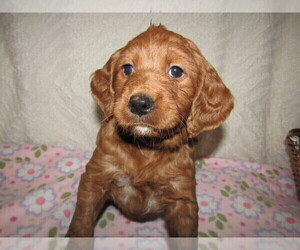 Goldendoodle Puppy for sale in WASHINGTON, DC, USA