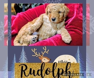 Goldendoodle Puppy for Sale in EAGLE, Idaho USA