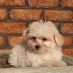 Maltese Puppy For Sale in GAP, PA, USA
