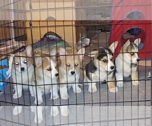 Pembroke Welsh Corgi Puppy for sale in CHILOQUIN, OR, USA