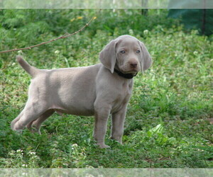 Weimaraner Puppy for Sale in AMORITA, Oklahoma USA