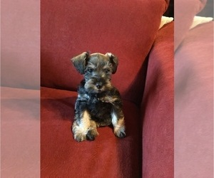 Schnauzer (Miniature) Puppy for Sale in MOORE, Oklahoma USA