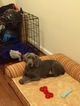 Weimaraner Puppy For Sale in PERRY HALL, MD