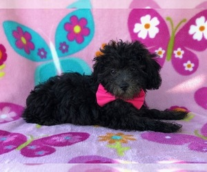 Havanese-Poodle (Toy) Mix Puppy for sale in NOTTINGHAM, PA, USA