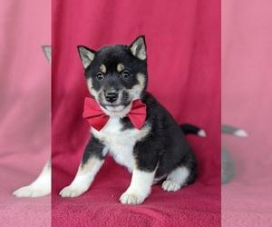 Shiba Inu Dog for Adoption in PEACH BOTTOM, Pennsylvania USA