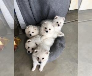 American Eskimo Dog Puppy for Sale in SACRAMENTO, California USA