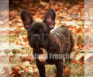 French Bulldog Puppy for sale in LA PLATA, MD, USA