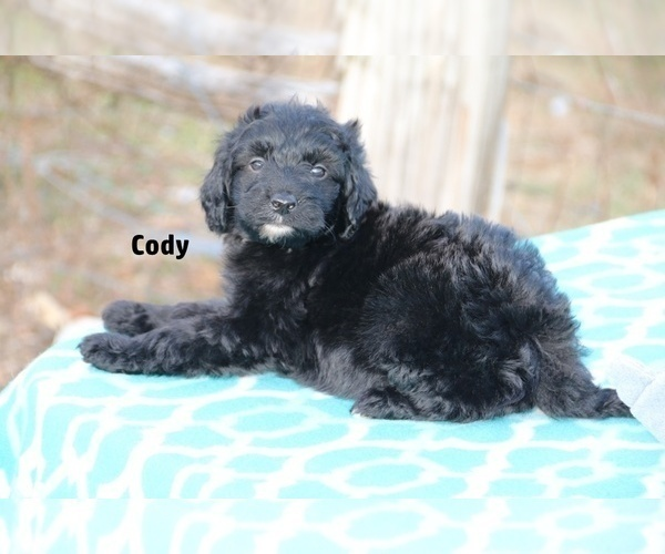 Medium Photo #9 Aussiedoodle Puppy For Sale in UNION CITY, TN, USA