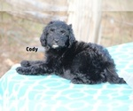 Small #8 Aussiedoodle