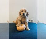 Puppy 1 English Cream Golden Retriever-Poodle (Miniature) Mix