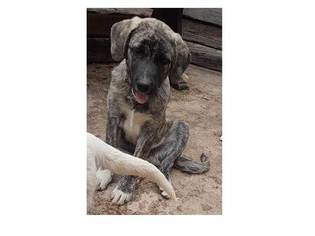 Anatolian Shepherd Puppy For Sale in MANITOU SPRINGS, CO, USA
