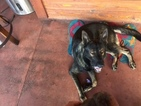 German Shepherd Dog Puppy For Sale in BETHEL HEIGHTS, AR, USA