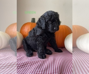 Bernedoodle-Goldendoodle Mix Puppy for Sale in FORT SMITH, Arkansas USA