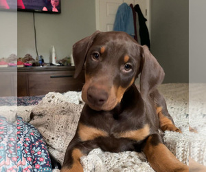 Doberman Pinscher Puppy for sale in PARADISE, CA, USA