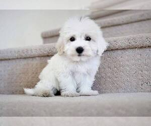 Maltipoo Mix Dog for Adoption in FULLERTON, California USA