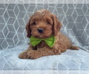 Medium Cocker Spaniel-Poodle (Miniature) Mix