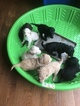 Labradoodle-Unknown Mix Puppy For Sale in MIDDLETOWN, DE, USA