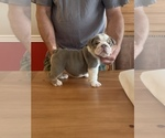 Small Photo #4 English Bulldog Puppy For Sale in DAYTON, OH, USA