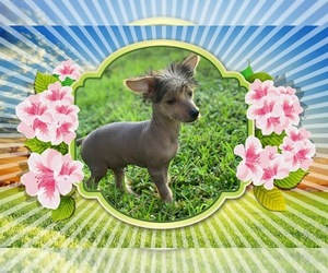 Chinese Crested Puppy for sale in VERO BEACH, FL, USA