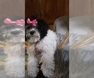 Cantel Puppy for sale in CLIFTON, WV, USA