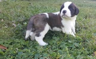 Saint Bernard Puppy For Sale in JACKSONVILLE, FL