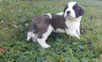 Saint Bernard Puppy For Sale in JACKSONVILLE, FL