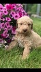 Goldendoodle Puppy For Sale in DECATUR, Indiana,