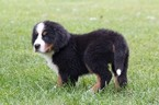 Bernese Mountain Dog Puppy For Sale in NEW PITTSBURGH, OH, USA