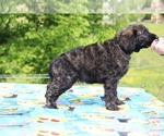Small #38 Goldendoodle