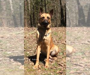 Belgian Malinois Puppy for sale in MORRILTON, AR, USA