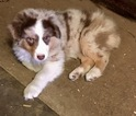 Australian Shepherd Puppy For Sale in LAKEVILLE, MN, USA