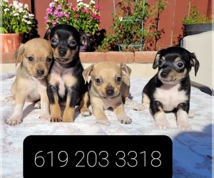 Chihuahua Puppy for Sale in LAKESIDE, California USA