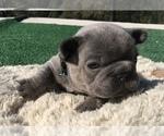 Small #29 French Bulldog