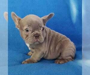 French Bulldog Puppy for sale in ADRIAN, MI, USA
