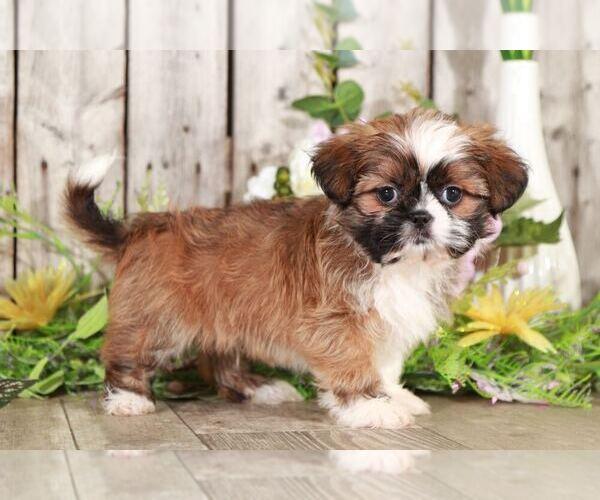 Medium Photo #2 Shih Tzu Puppy For Sale in MOUNT VERNON, OH, USA