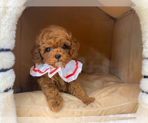 Poodle (Toy) Puppy for Sale in REDLANDS, California USA