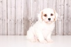 Cavachon Puppy For Sale in MOUNT VERNON, OH