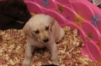 Labrador Retriever Puppy For Sale in VIRGINIA BEACH, VA