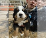 Small #22 Bernese Mountain Dog