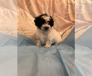 Poodle (Toy) Puppy for Sale in CROSS JNCT, Virginia USA